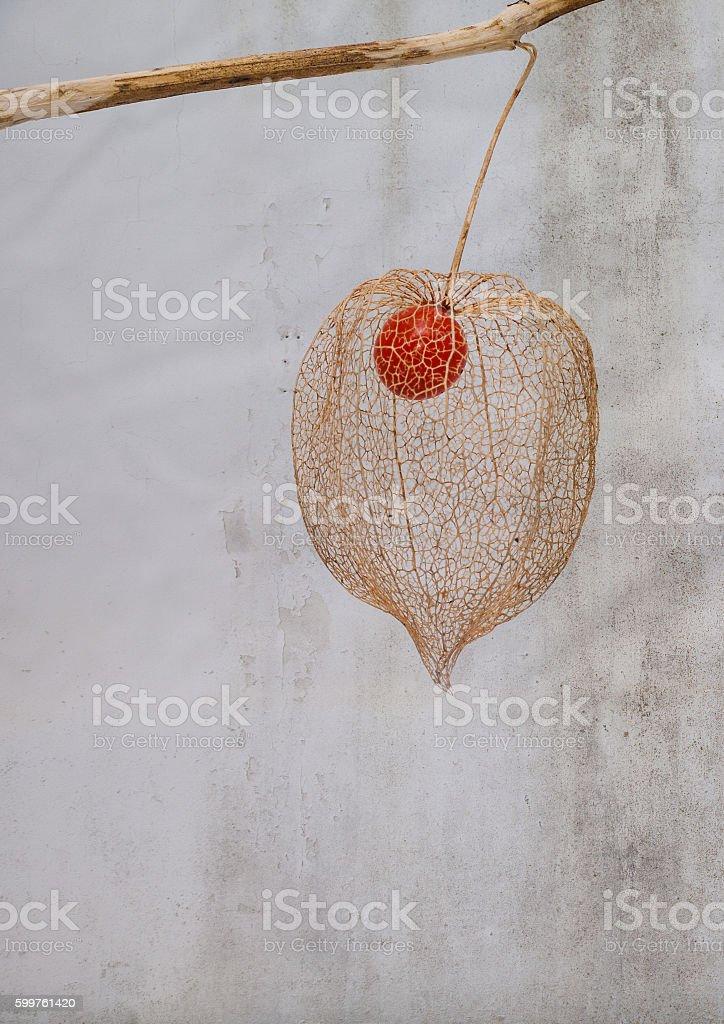 Lantern seed stock photo