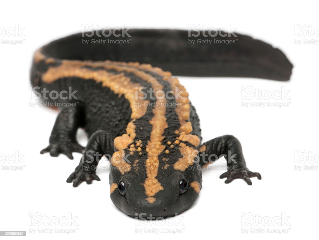 Laos Warty Newt, Paramesotriton laoensis, in front of white background stock photo