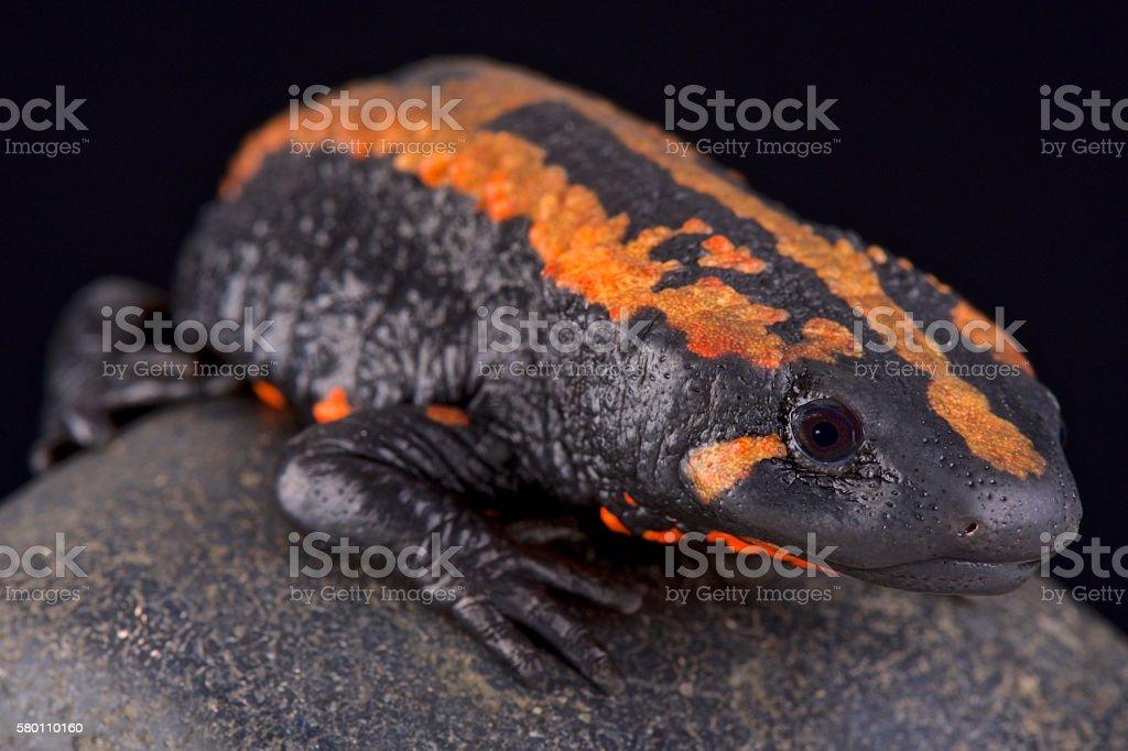 Laos warty newt  (Laotriton laoensis) stock photo