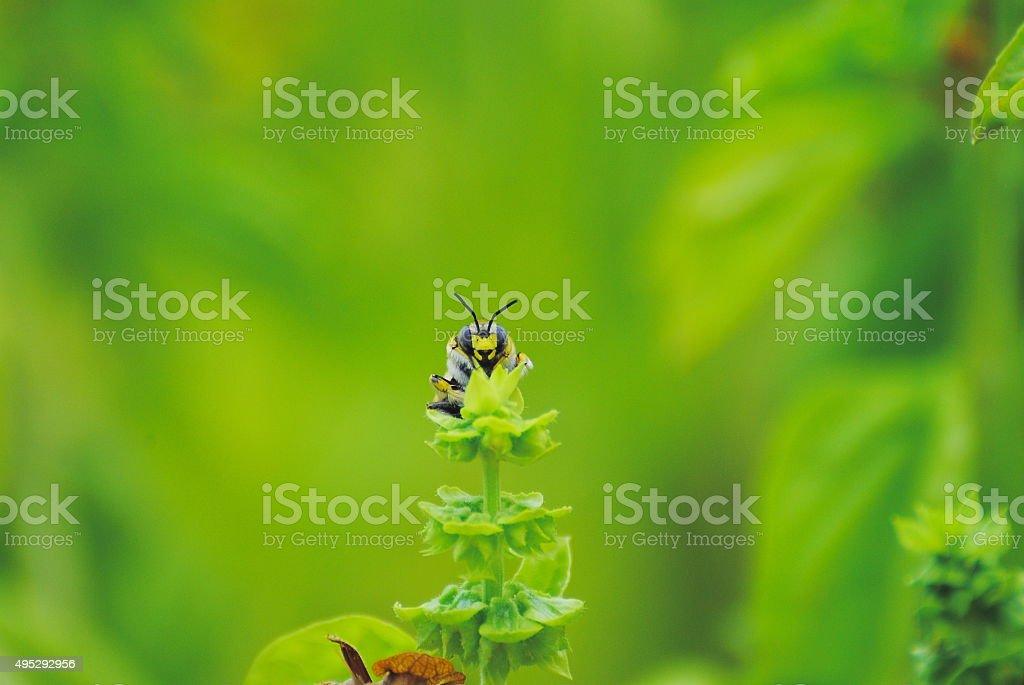 l'ape e l'impollinazione del basilico gigante stock photo