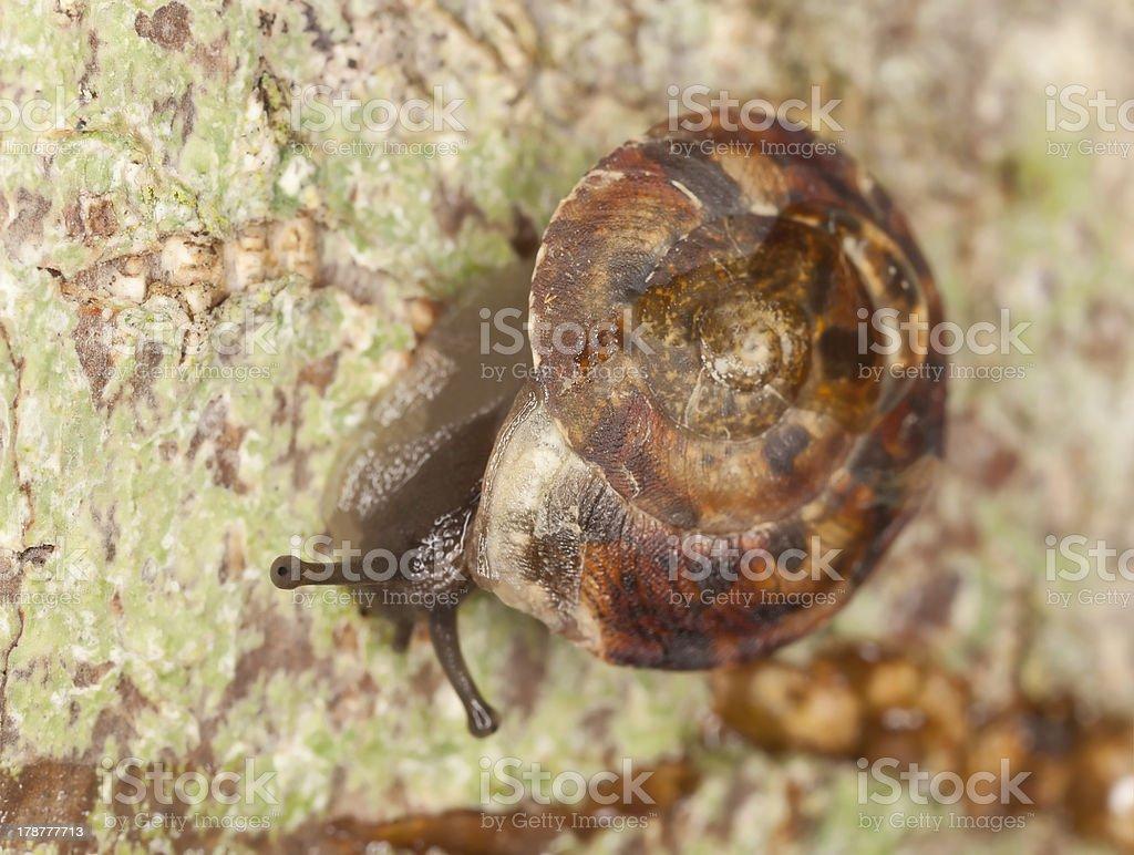 Lapidary Snail, Helicigona lapicida on wood, macro photo stock photo