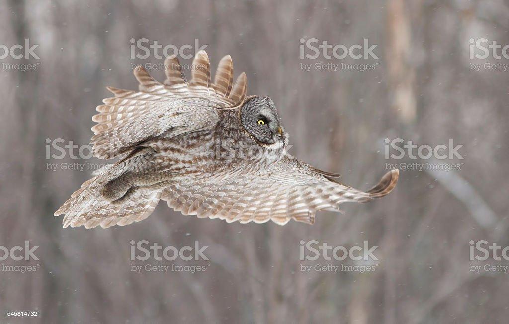 Lapland owl or Great grey owl stock photo