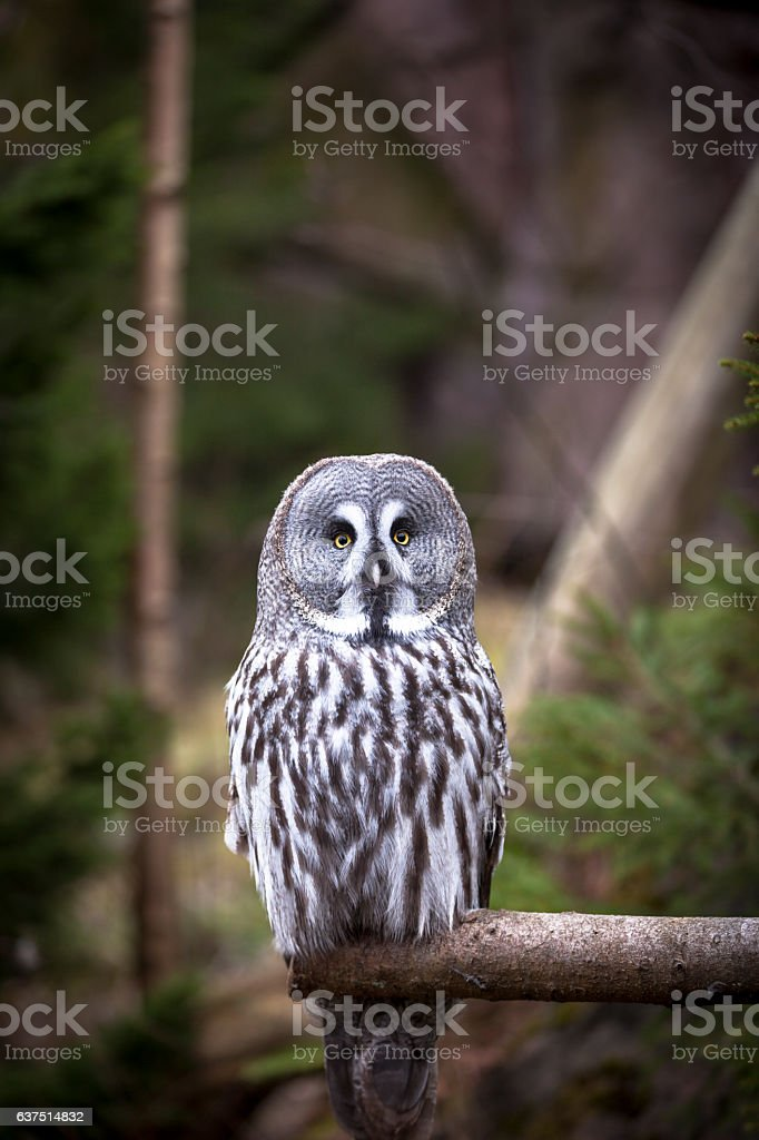 lapland owl stock photo