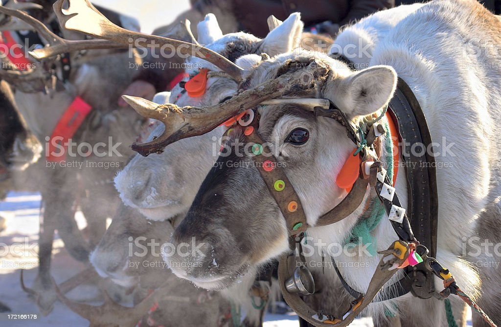 Lapland reindeer royalty-free stock photo