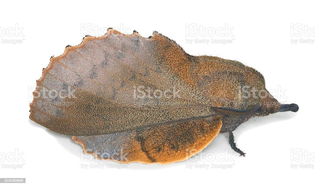 Lappet, Gastropacha quercifolia isolated on white background stock photo