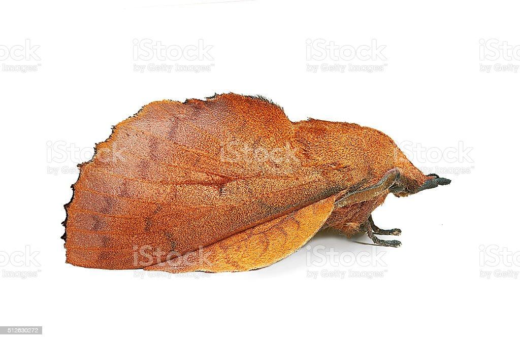 Lappet moth (Gastropacha quercifolia), imitating a dead leaf stock photo