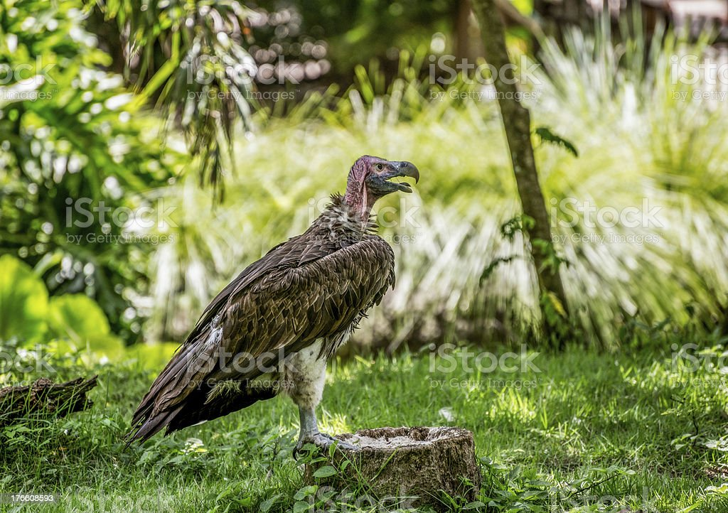 Lappet-Faced Vulture stock photo