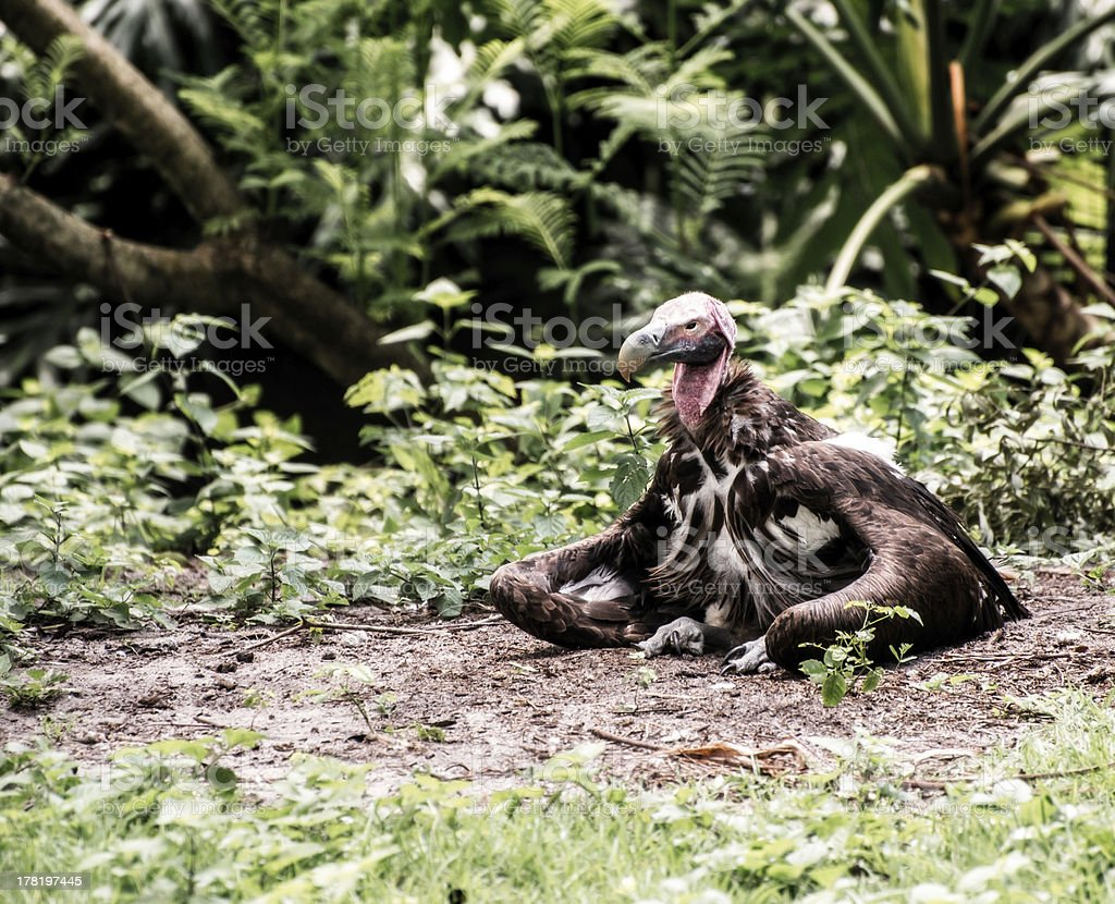 Lappet-Faced Vulture royalty-free stock photo