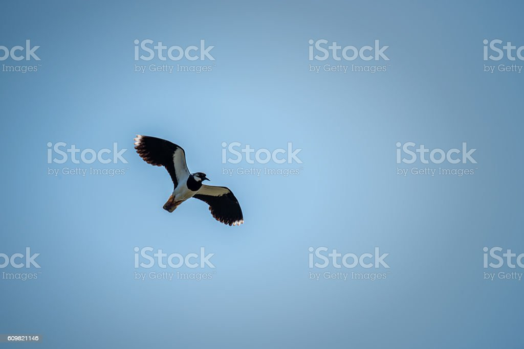 Lapwing Flying in Blue Sky stock photo