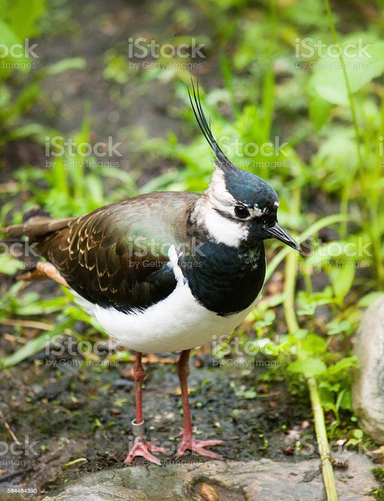 Lapwing green plover - Vanellus vanellus stock photo