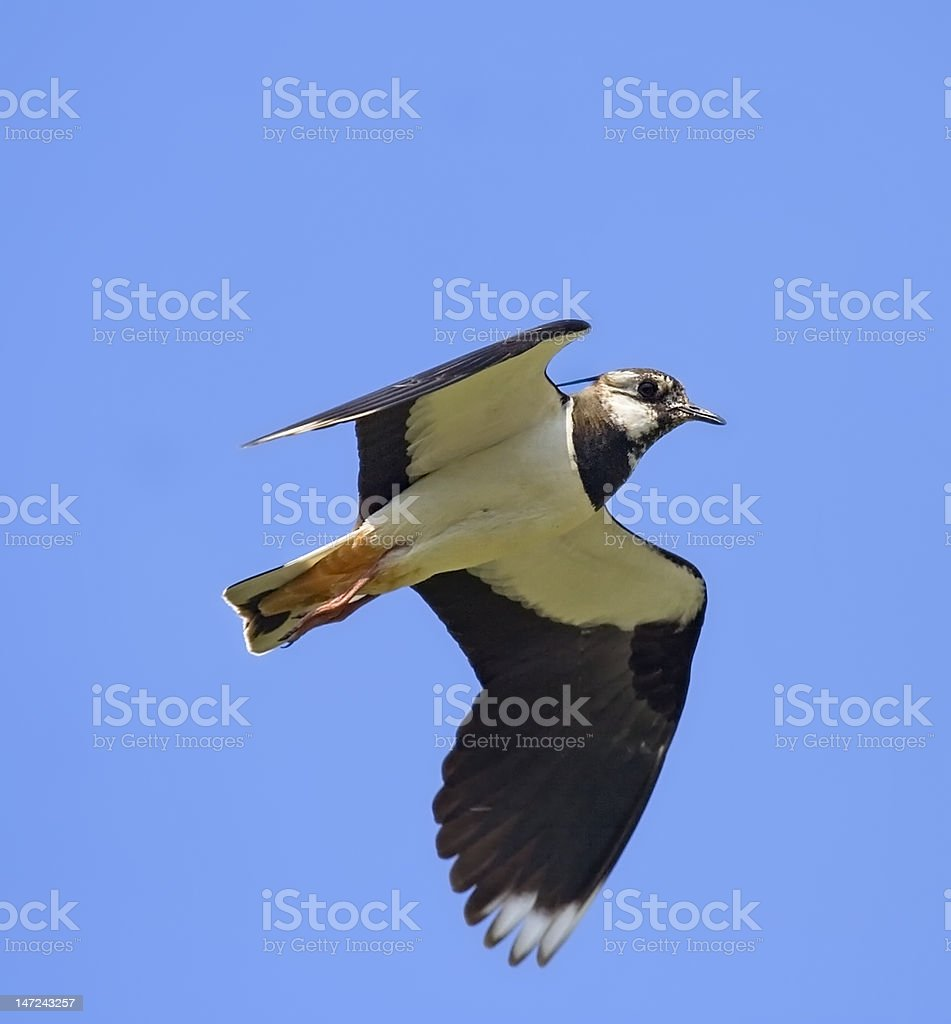 Lapwing in flight royalty-free stock photo