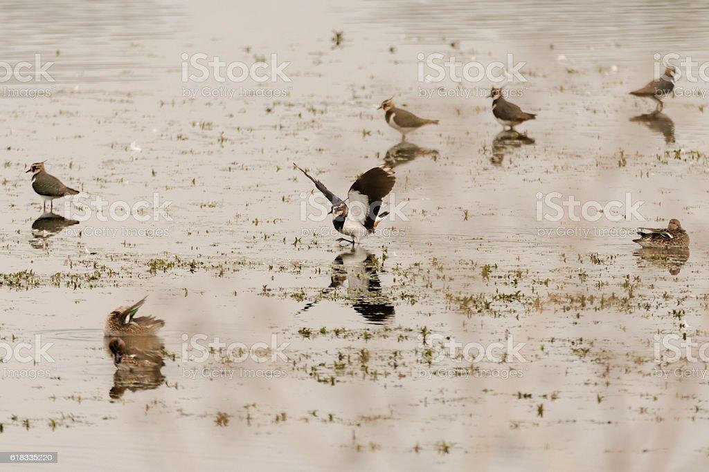 Lapwing (Vanellus vanellus) landing amongst flock on water stock photo