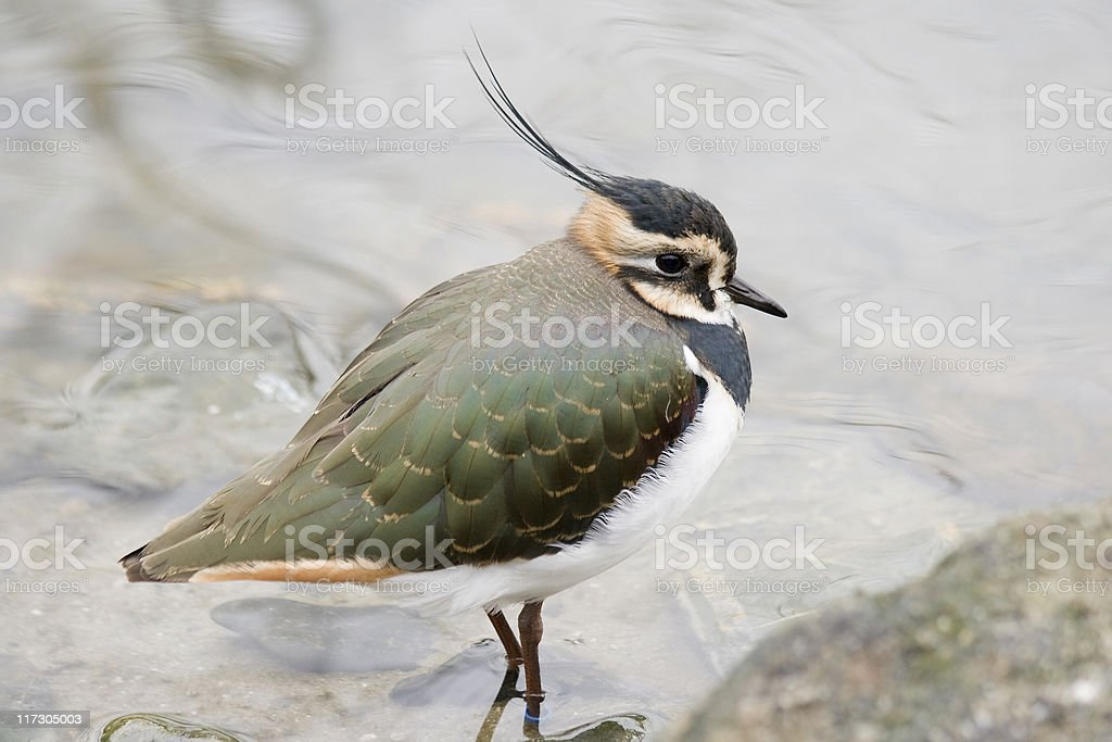 lapwing stock photo