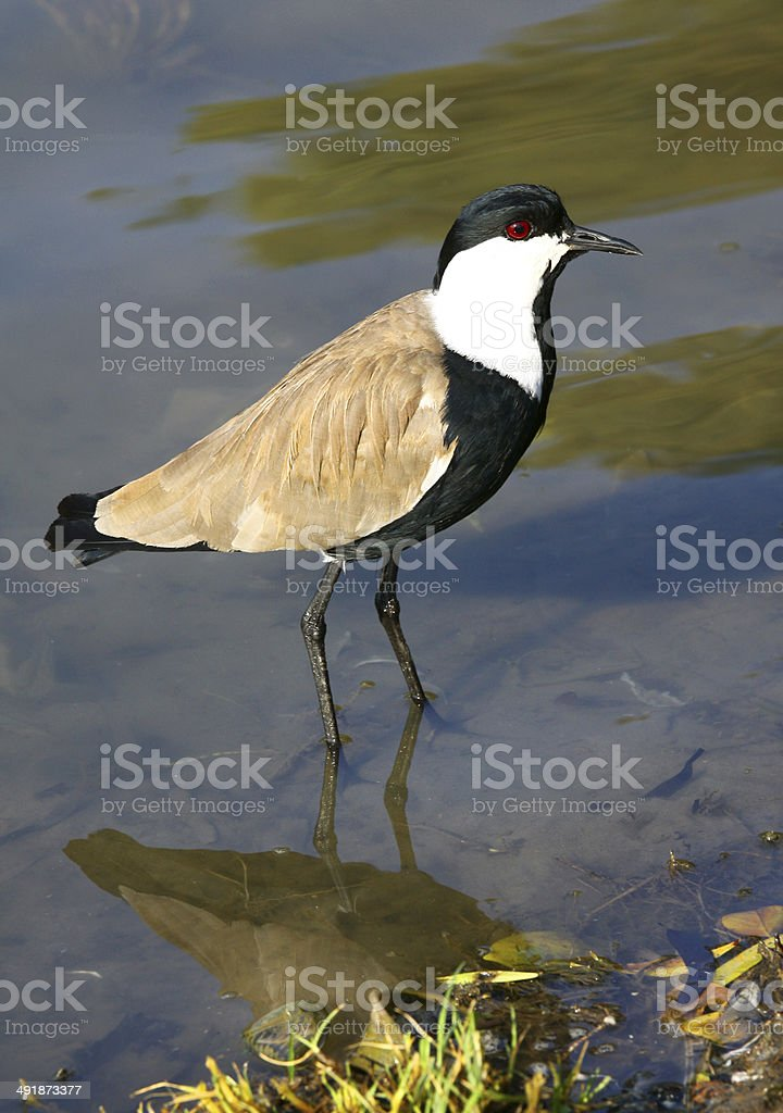 lapwing royalty-free stock photo