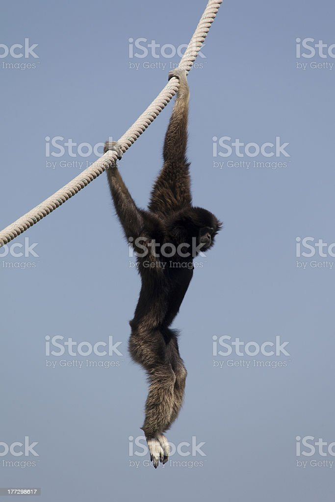 Lar Gibbon, Dangling on a Rope royalty-free stock photo