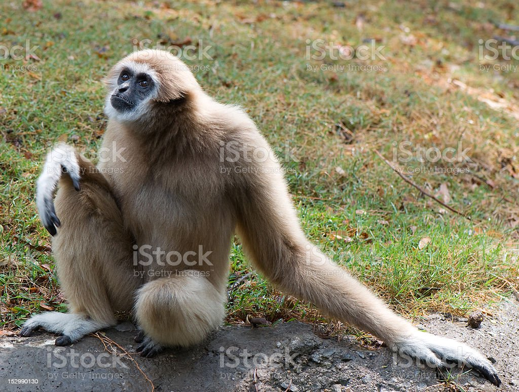 lar gibbon royalty-free stock photo