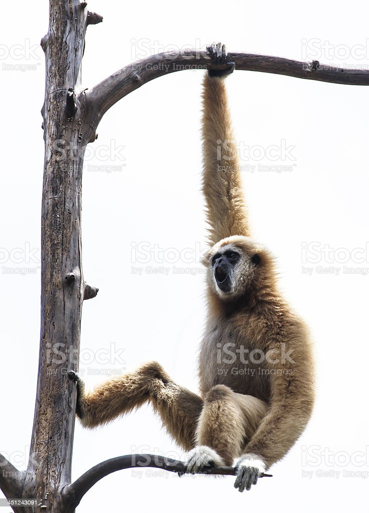 Lar Gibbon resting on a tree branch stock photo
