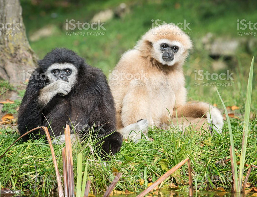 Lar Gibbons at a River in the Rainforest stock photo