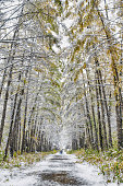Larch alley in park covered with first snow