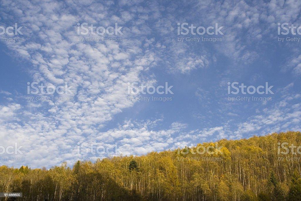 Larch at Changbai Mountain, China royalty-free stock photo
