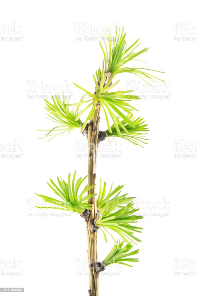 Larch branch with green needles isolated on white background stock photo