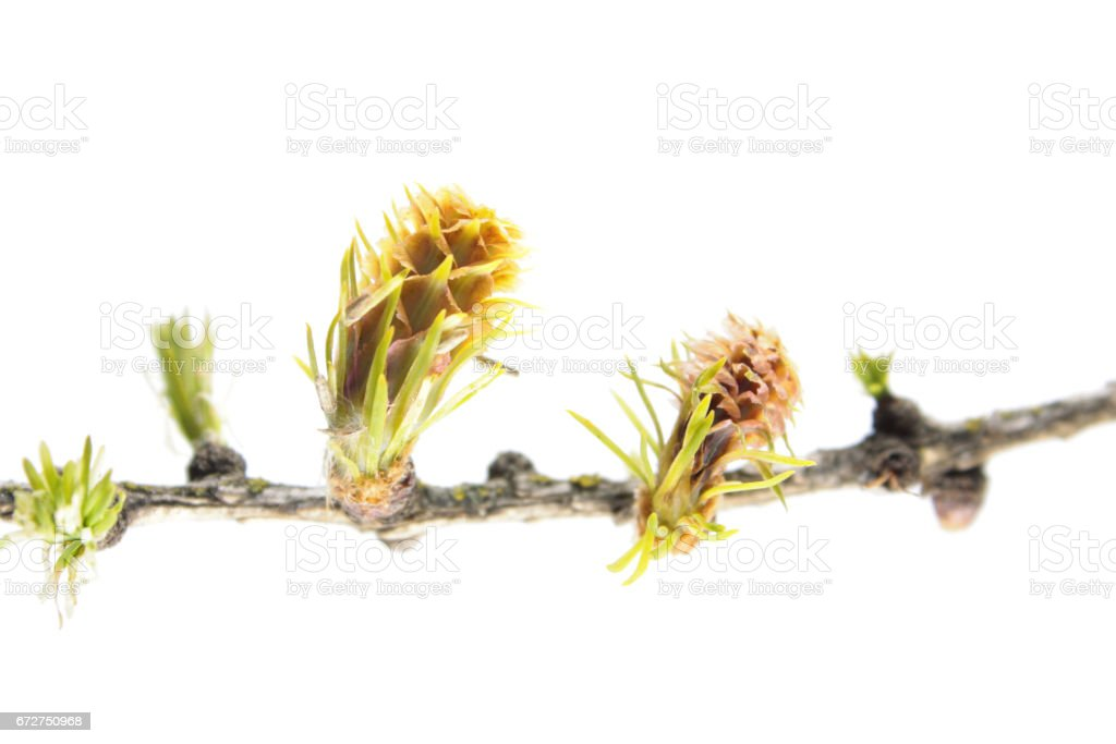 Larch branch with young cones isolated on white background stock photo