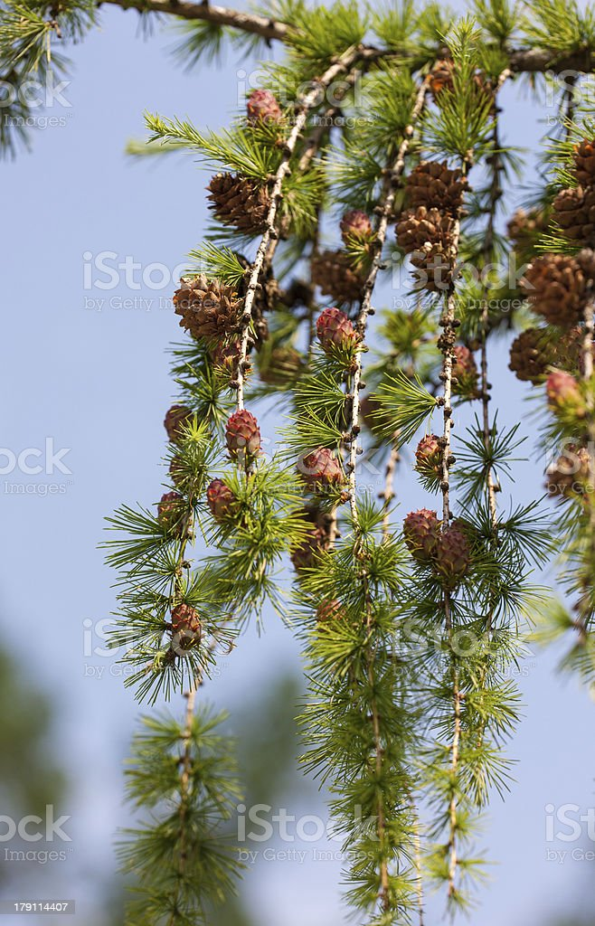 larch branches royalty-free stock photo