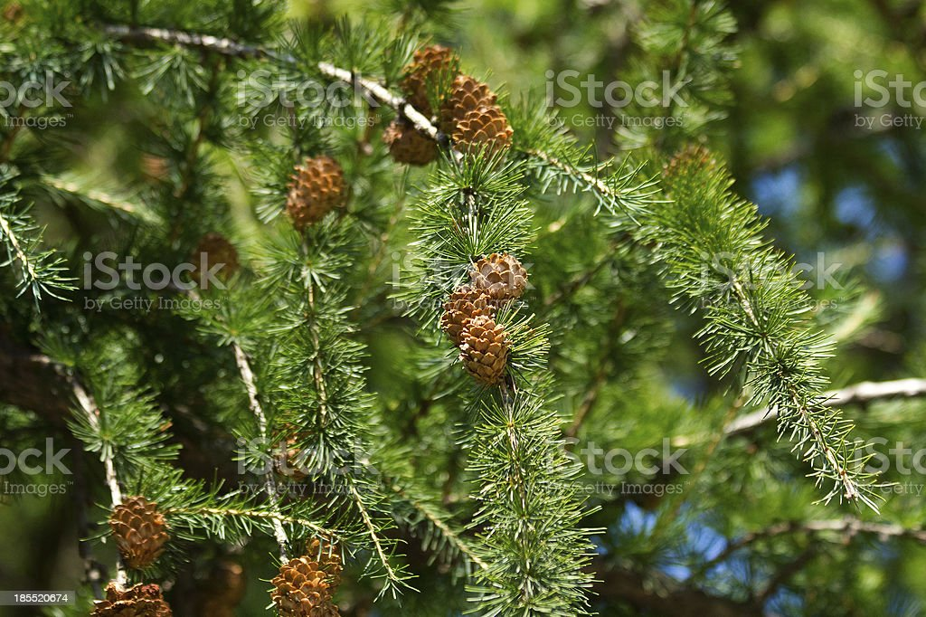 larch branches with cones royalty-free stock photo