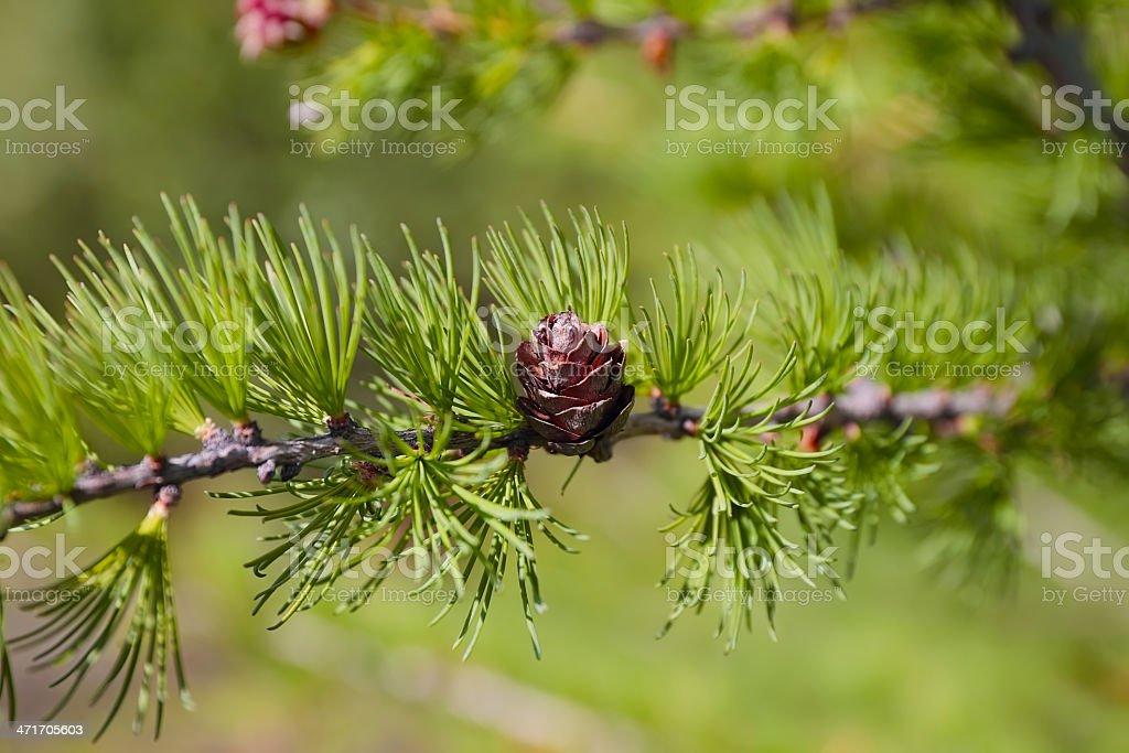 カラマツ植物やコーンズ ロイヤリティフリーストックフォト