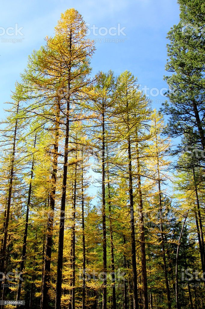 Larch Forest (Larix sp.), Fall Color, NW Montana, Western US stock photo
