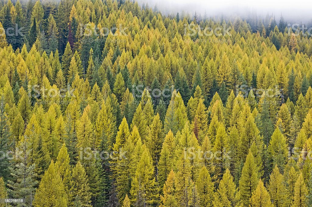 Larch forest in autumn stock photo