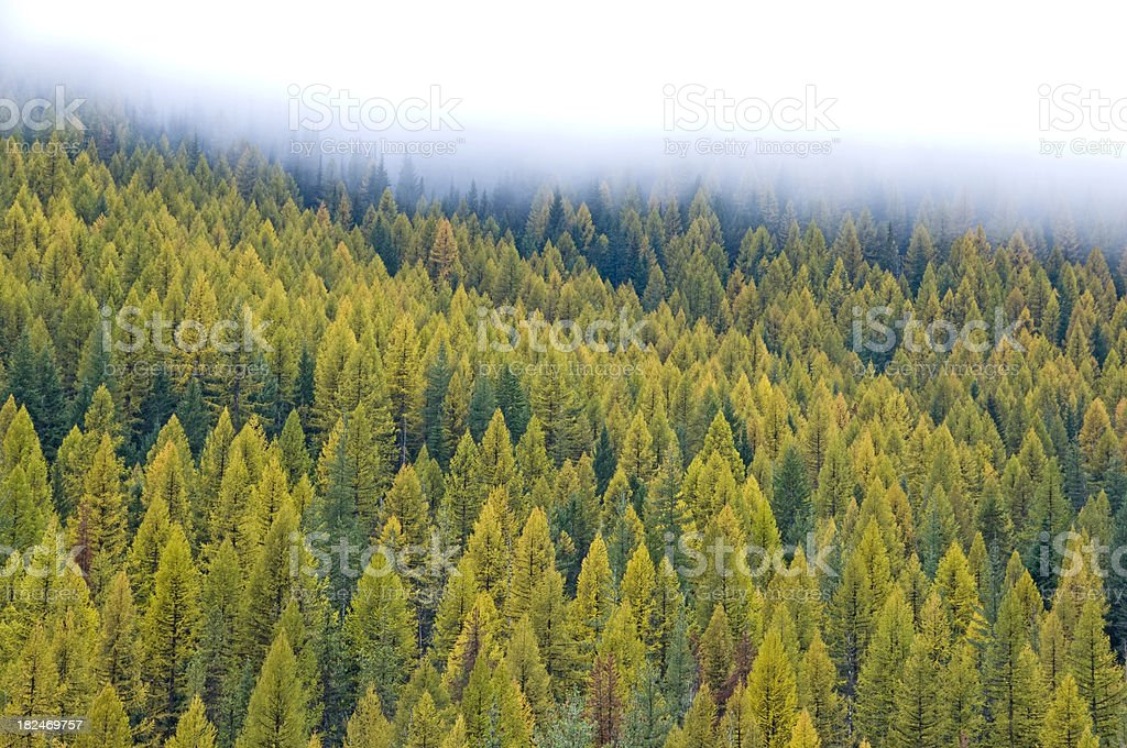 Larch forest in autumn royalty-free stock photo