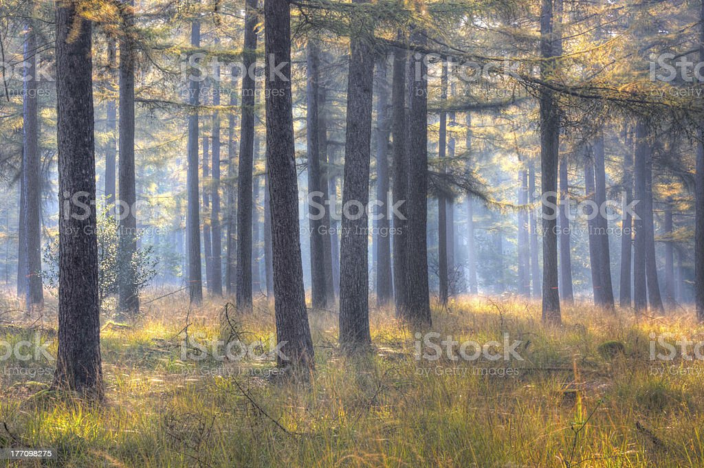 Larch forest in early morning stock photo