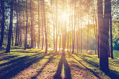 larch forest with sunlight and shadows at sunrise