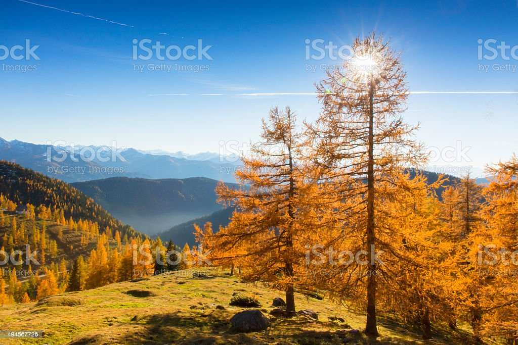 Larch Glow in Alps stock photo