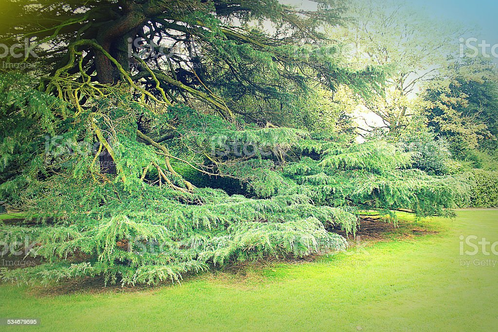 larch growing in the park stock photo