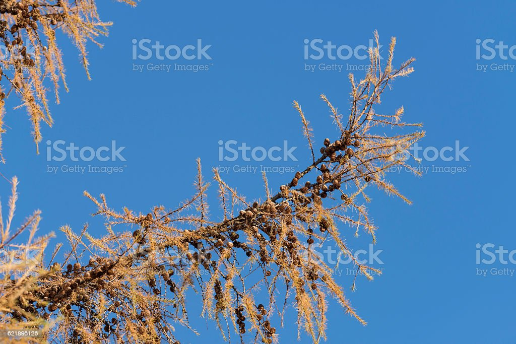 Larch in fall stock photo