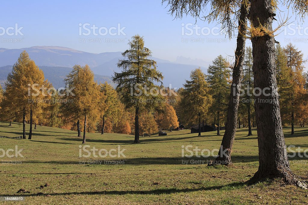 Larch meadow in autumnal scenery stock photo