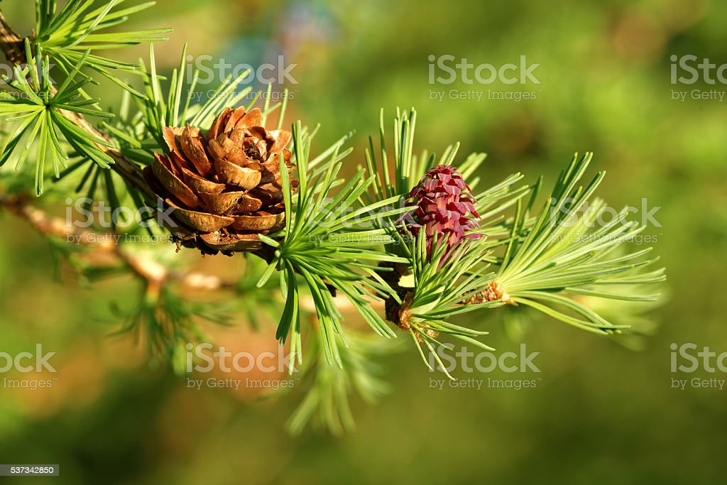 Larch strobili stock photo