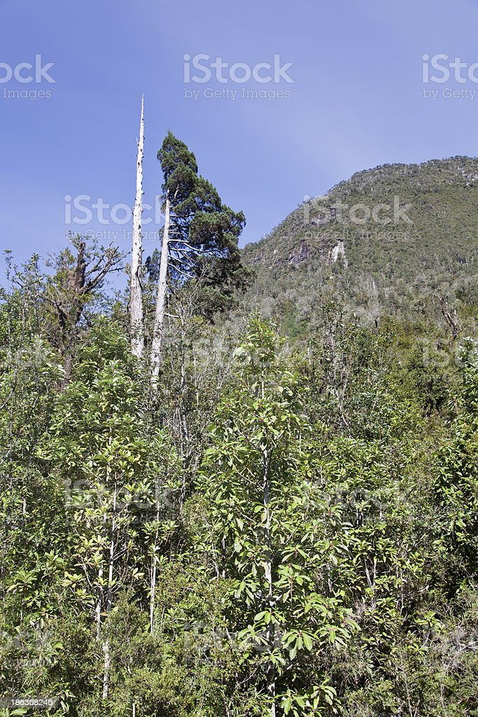 Larch tree at the Pumalin park rainforest. stock photo