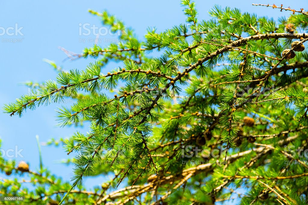 Larch Tree Branches stock photo