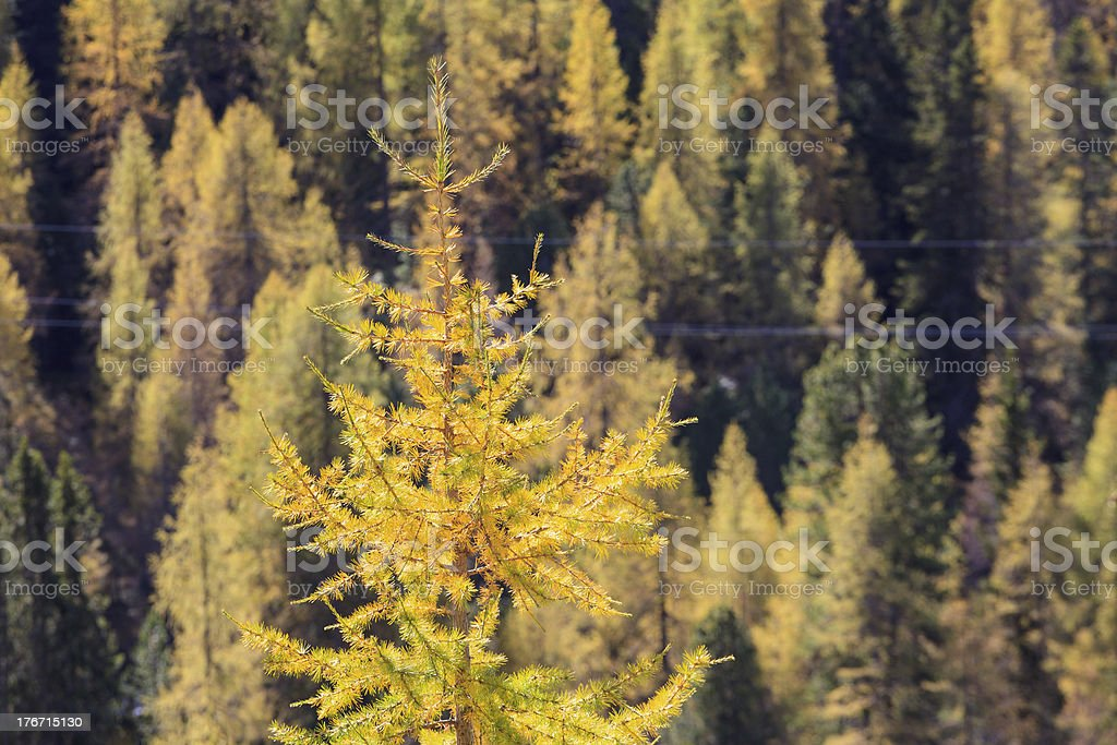 Larch tree forest royalty-free stock photo