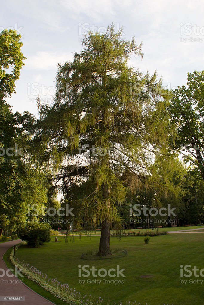 Larch tree in summer in Ostafjevo park stock photo