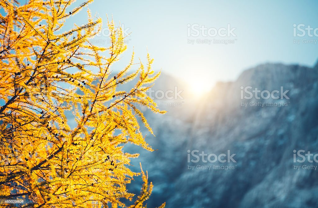 Larch Tree In The Mountain stock photo