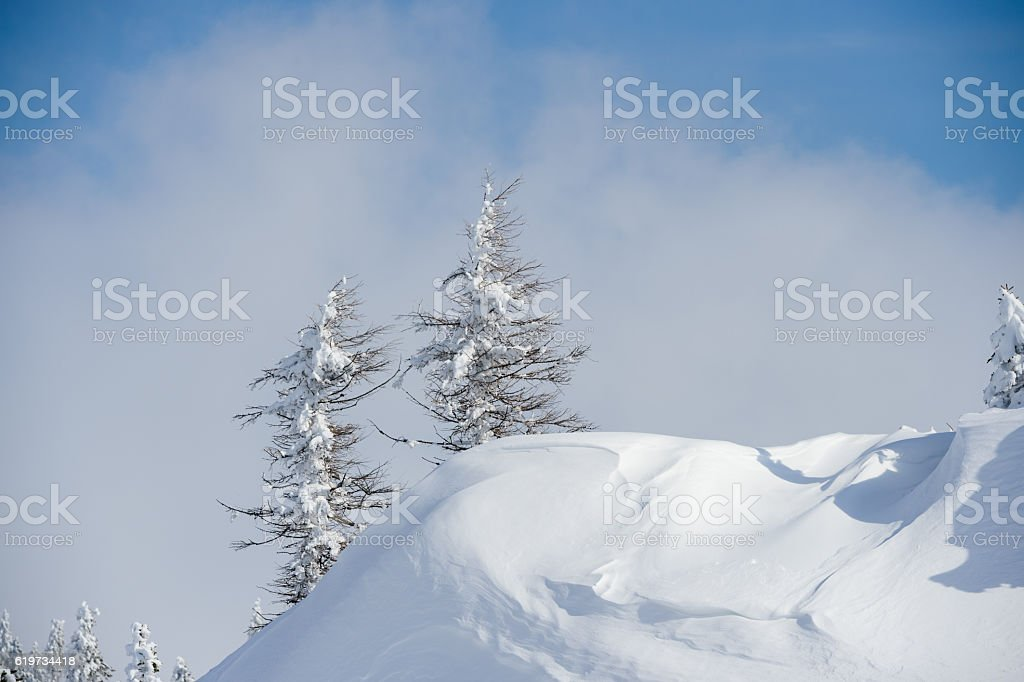 Larch Tree In Winter stock photo