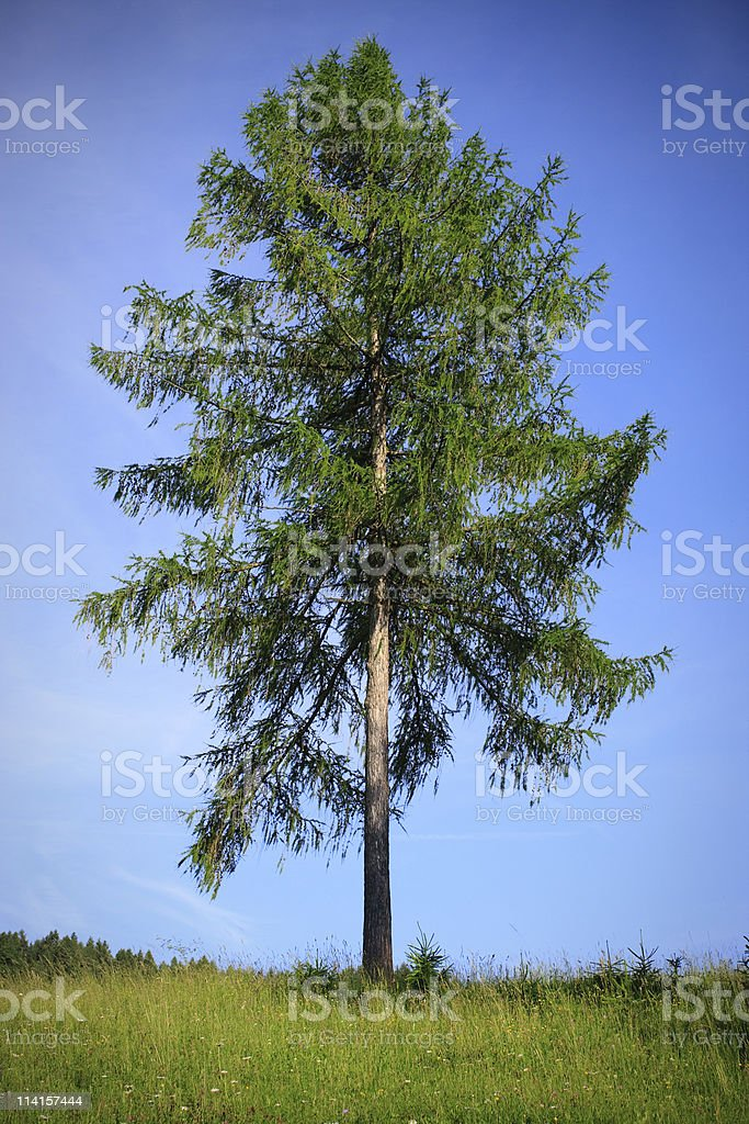 Larch Tree stock photo