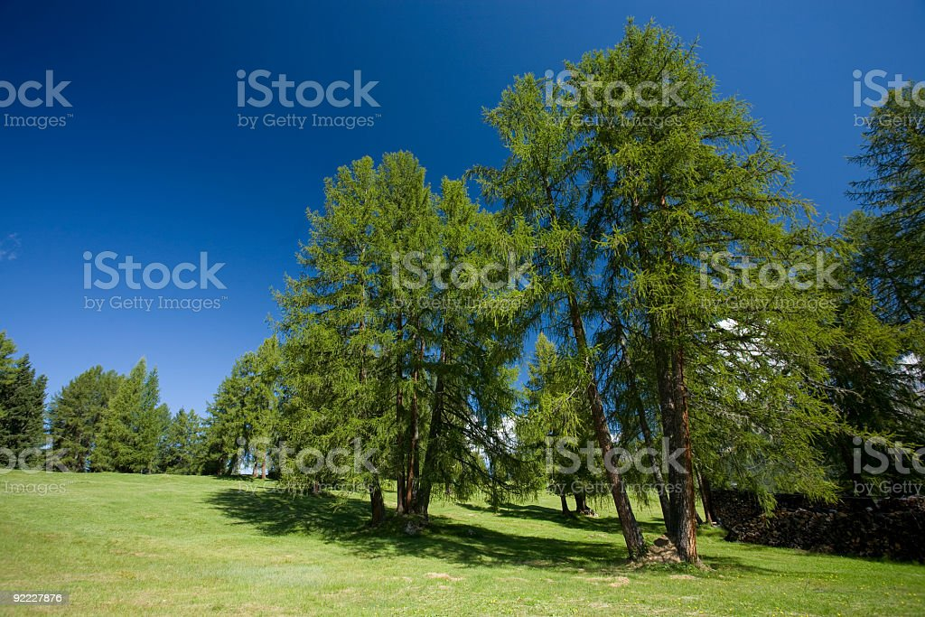 Larch Tree royalty-free stock photo