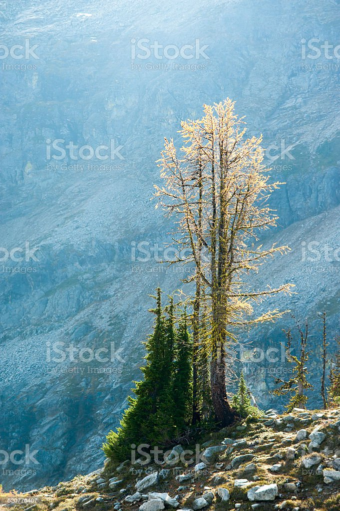 Larch Tree Showing it's Fall Colors royalty-free stock photo