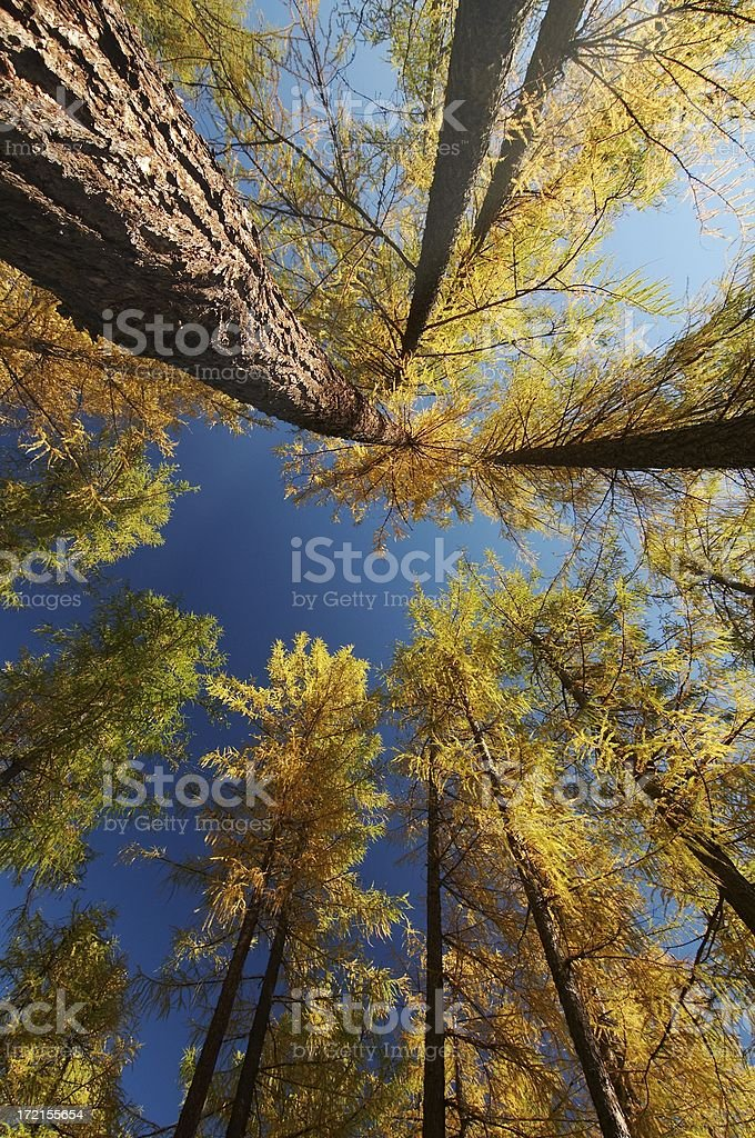 larch tree with stem royalty-free stock photo