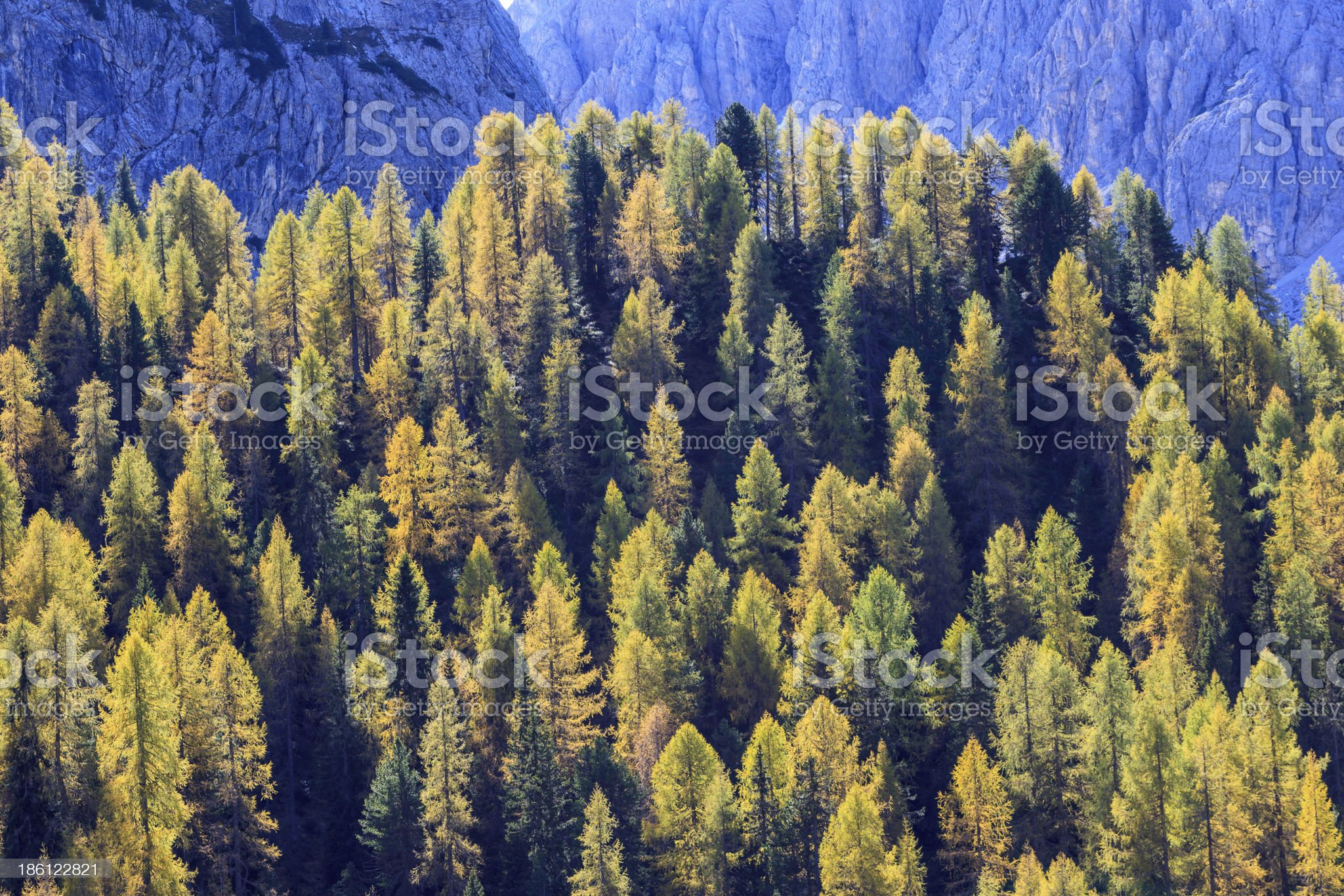 Larch tree woods royalty-free stock photo